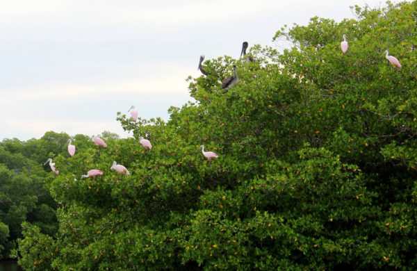 Roseate Spoonbills and Florida Pelicans sitting on Mangrove trees