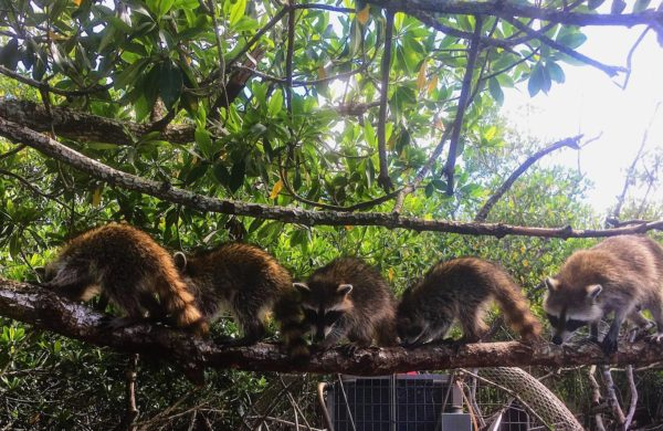 A Raccoon family line-up on a Mangrove branch