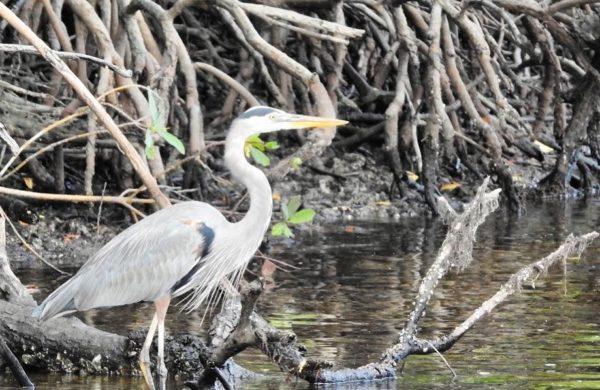 Blue Heron posing in the Everglades Mangroves