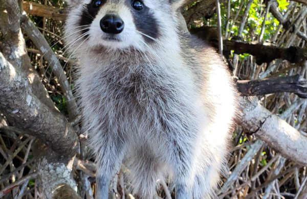 A young raccoon looking straight to the camera