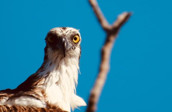 An Osprey looking straight to the camera