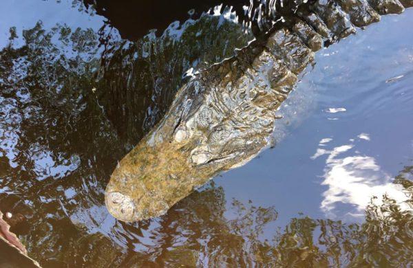 A big alligator's head