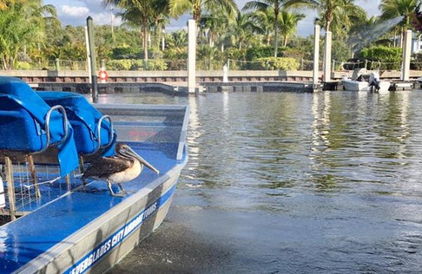 A pelican on Everglades City Airboat Tours