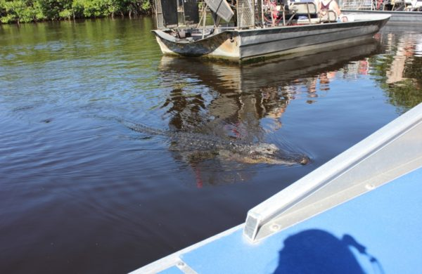 Alligator swimming away from airboat
